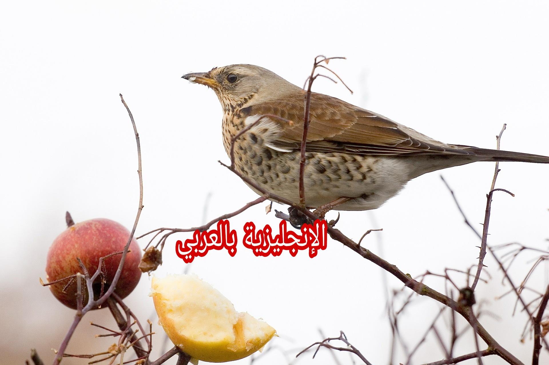 جسم العصافير بالإنجليزية